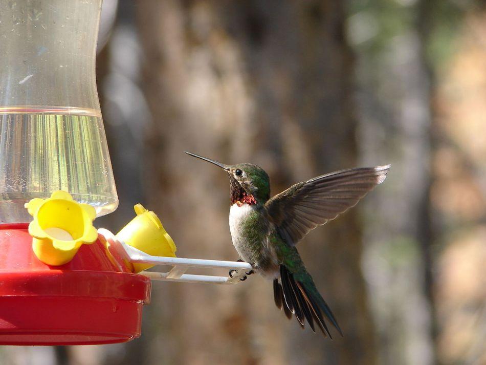 Colibri à gorge rubis mâle sur une mangeoire.