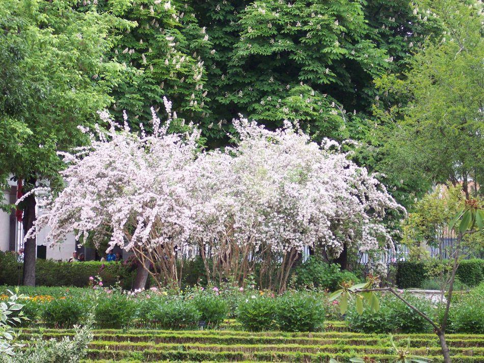 Kolkwitzia en fleurs