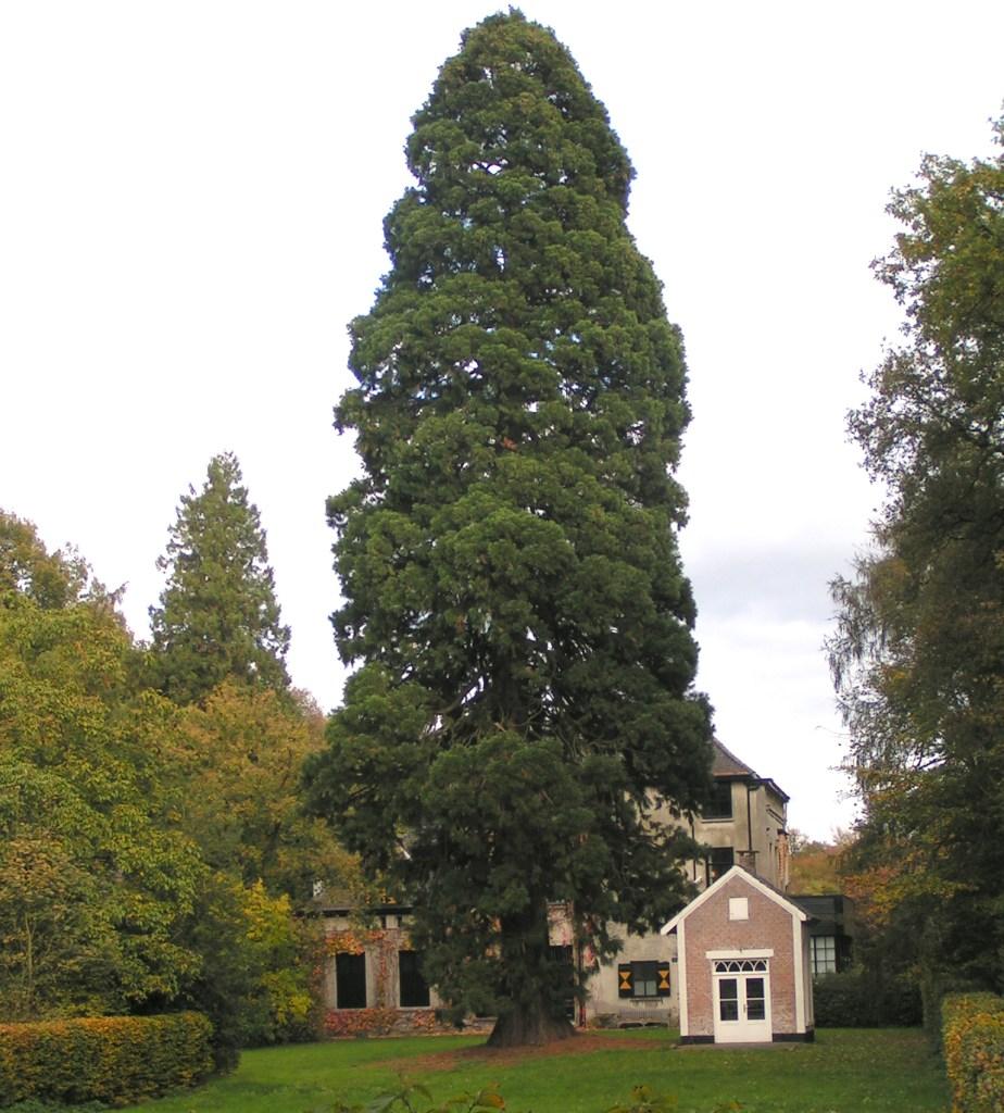 séquoia géant dans un jardin privé.