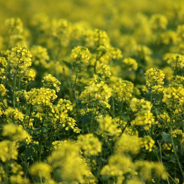 Moutarde utilisée comme engrais vert.
