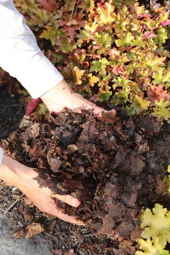 Mains tenant un paillis de feuilles