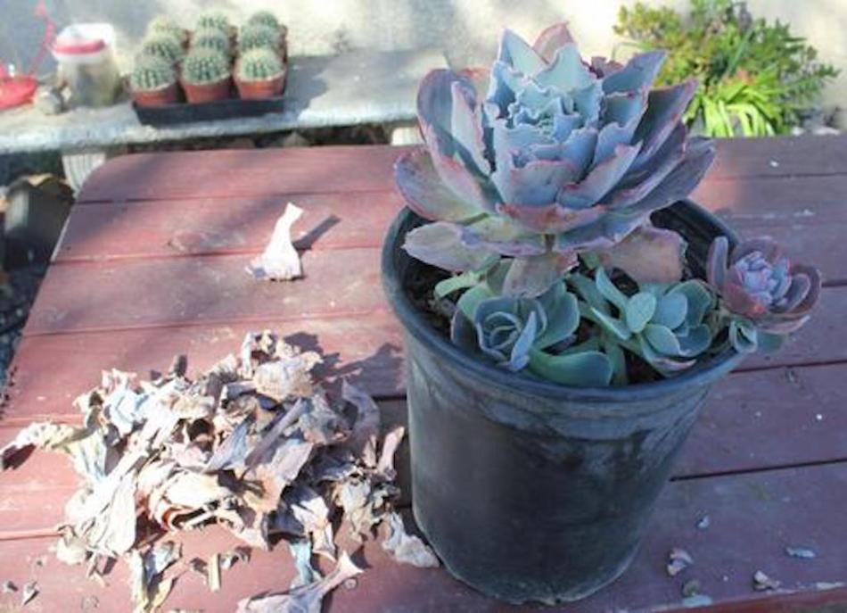 Echeveria en pot à côté des feuilles mortes qui lui ont été retirées.