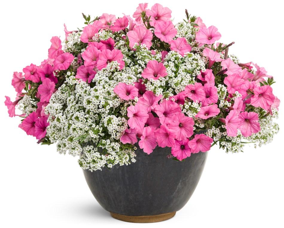 Jardinière d'annuelles blanches et roses.