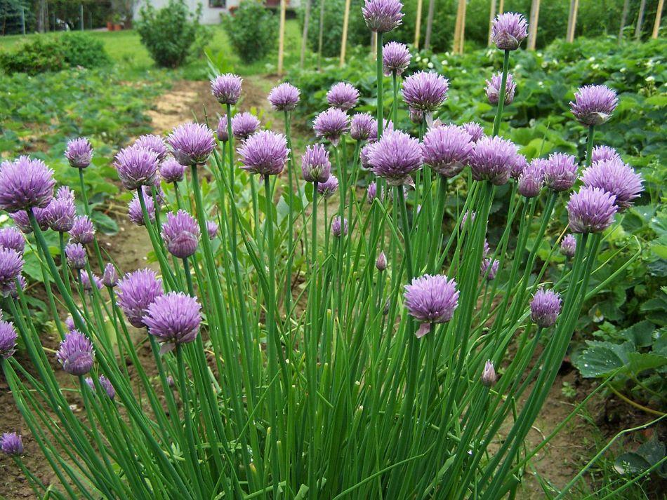 Plante de ciboulette en fleurs