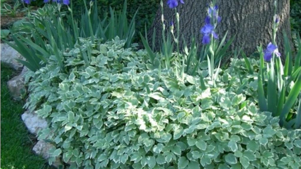 Iris barbus envahis par l'herbe au goutteux panachée.