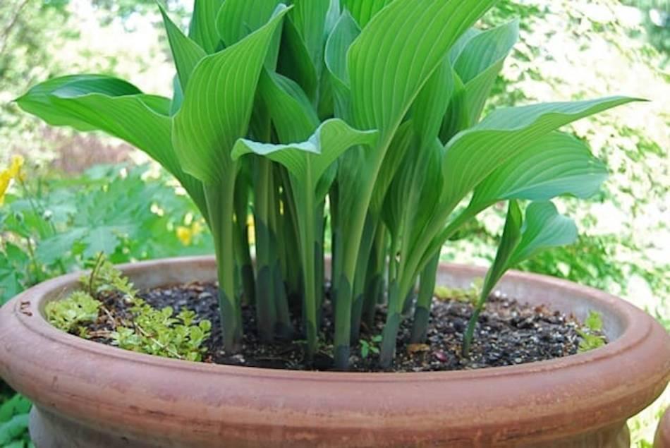 Hosta dans un pot avec des mauvaises herbes qui commencent à pousser autour.