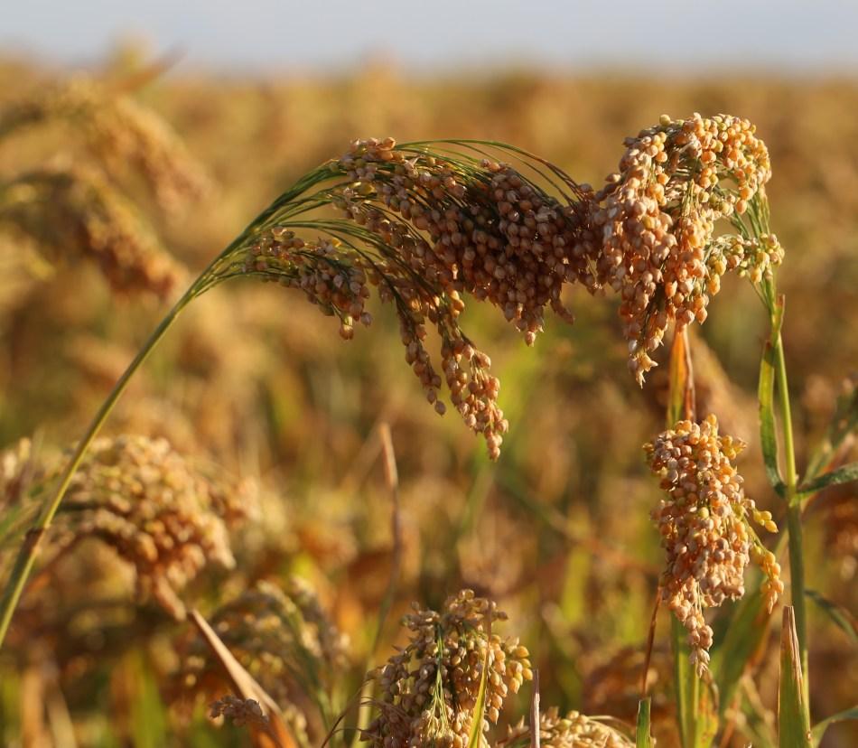 Millet mûr aux graines brunes sur le plant.