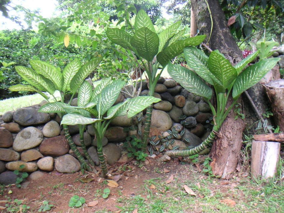 Dieffenbachia bowmanniien plein air en Colombie