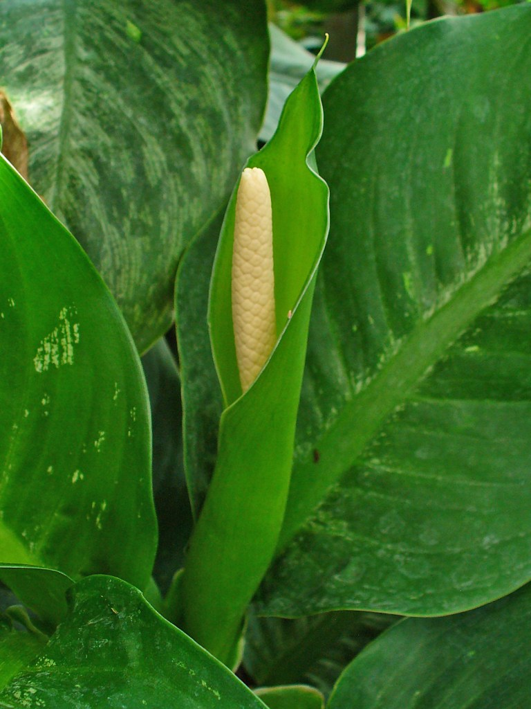 Inflorescence de dieffenbachia