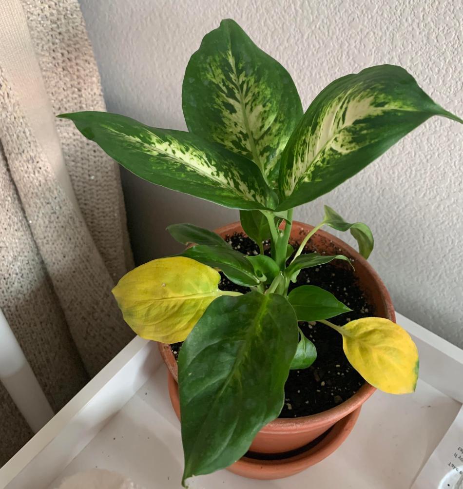 Dieffenbachia avec deux feuilles inférieures jaunes.