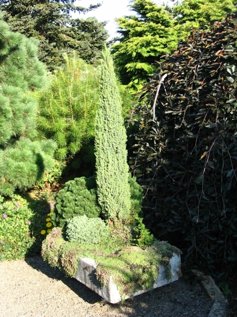 Jardin de conifères miniatures dans une auge en hypertufa