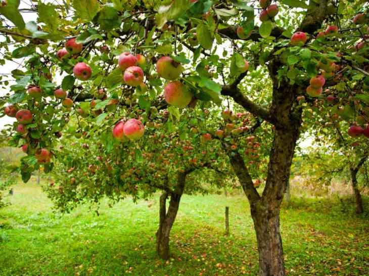 Pommier en fruits.