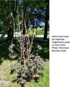 Arbre à perruque qui repousse inégalement après un hiver froid. Les branches les plus hautes sont mortes.