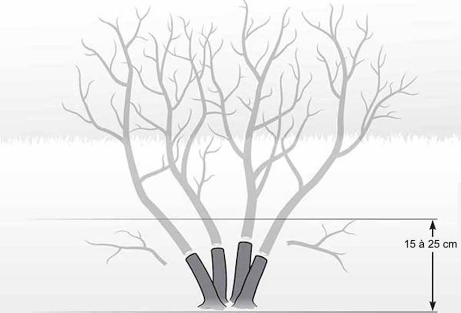 Illustration montrant comment on taille un arbre à perruque très court au printemps.