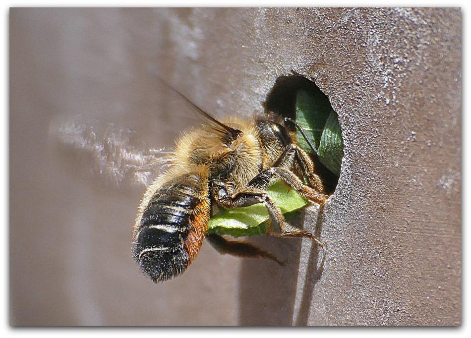 Mégachile qui apporte un segment de feuille à son nid.