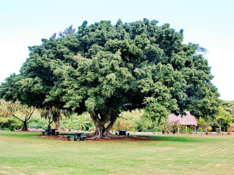 Ficus microcarpa poussant en plein air comme arbre d'ombrage.