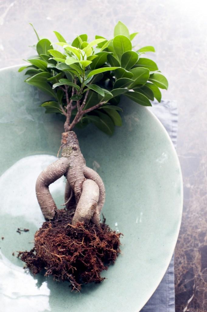 Ficus de ginseng à racines nues montrant la cicatrice de greffage.
