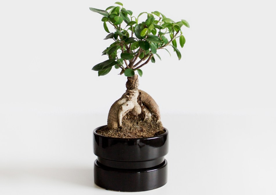 Ginseng ficus dans un pot Ikea sans trou de drainage.