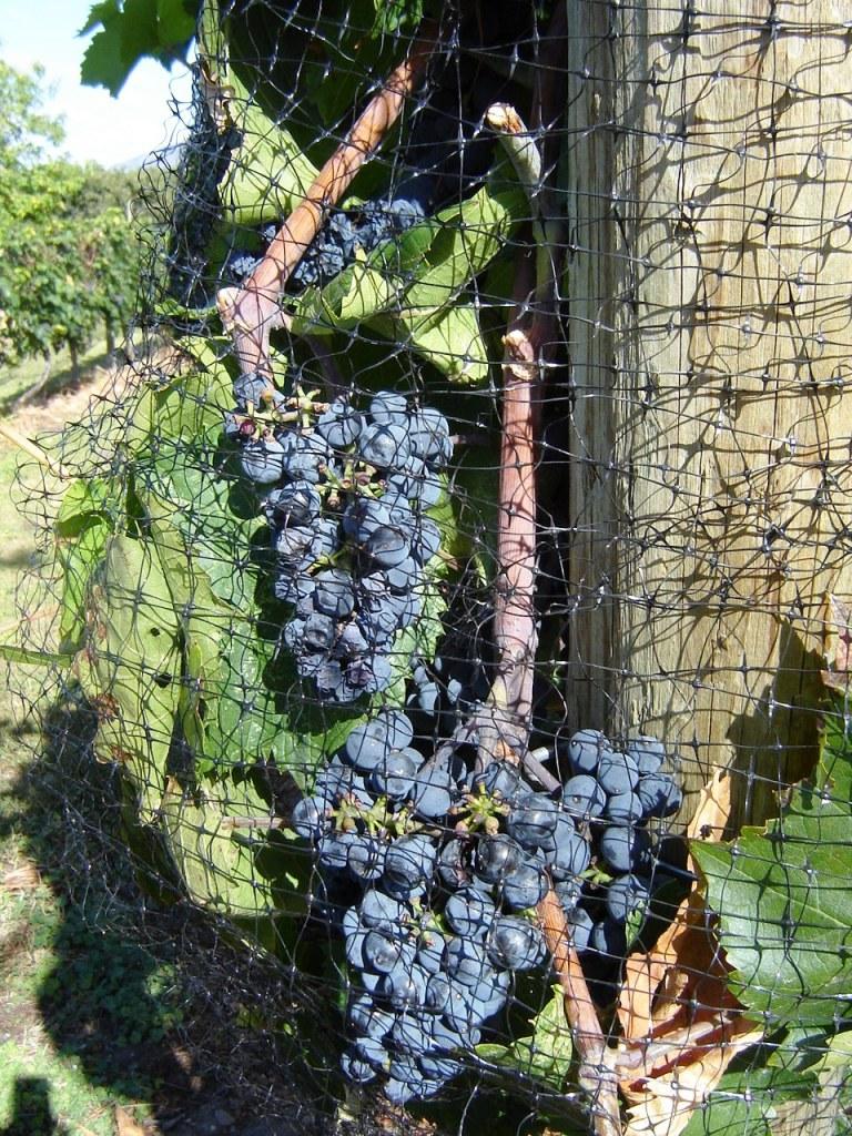 Filet de protection autour de plants de vigne avec raisins.