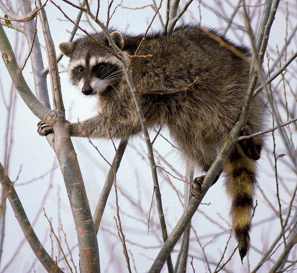 Raton laveur dans un arbre.