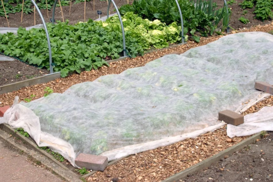 floating row cover in a vegetable garden.