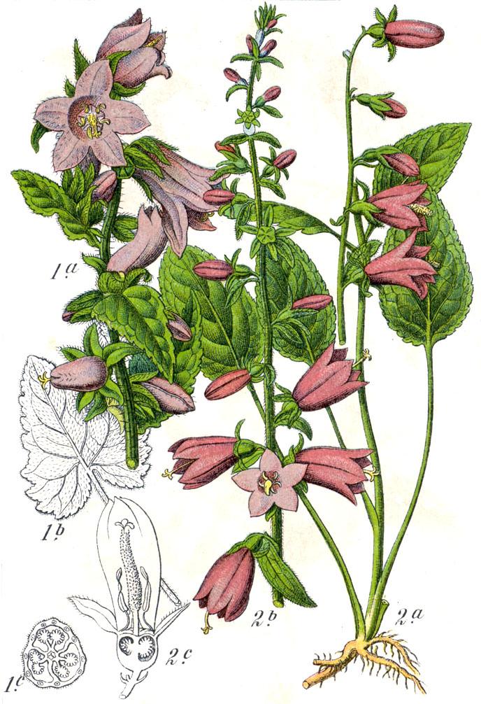 Illustration botanique de Campanula rapunculoides