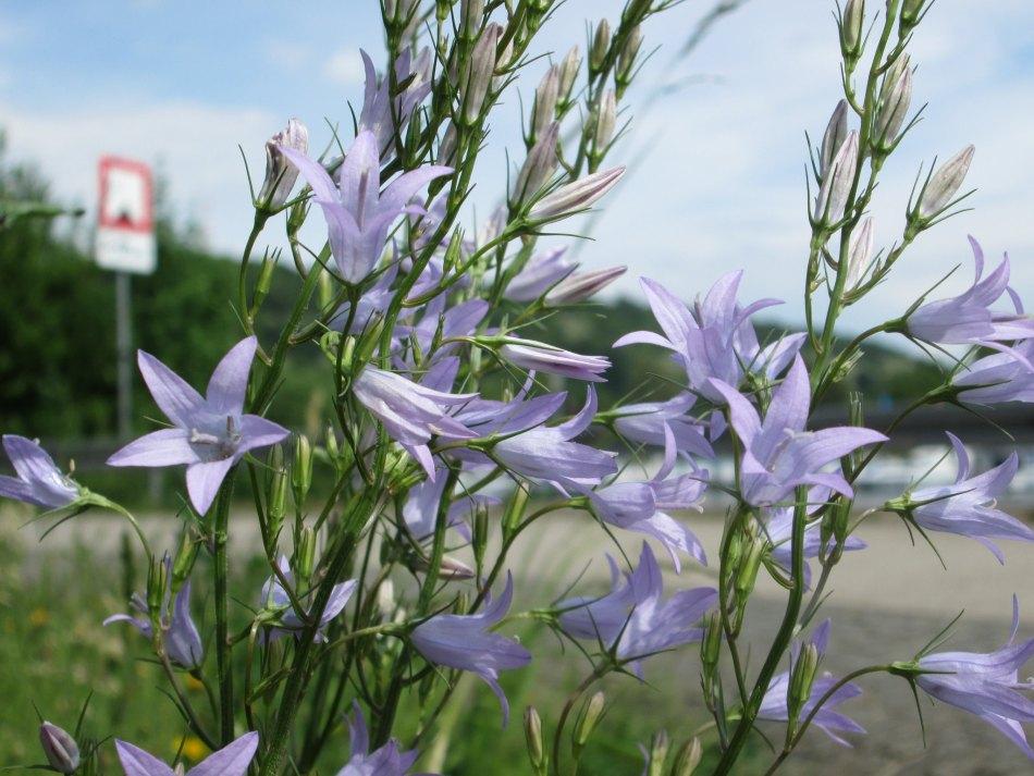 Campanule raiponce en fleurs.