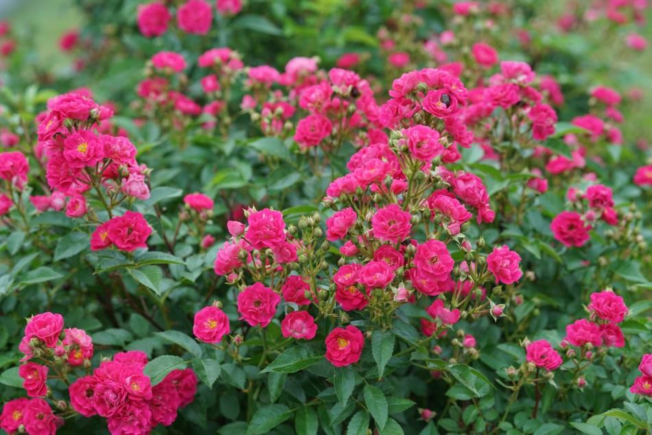 Rosier Oso Easy Peasy à fleurs rose foncé
