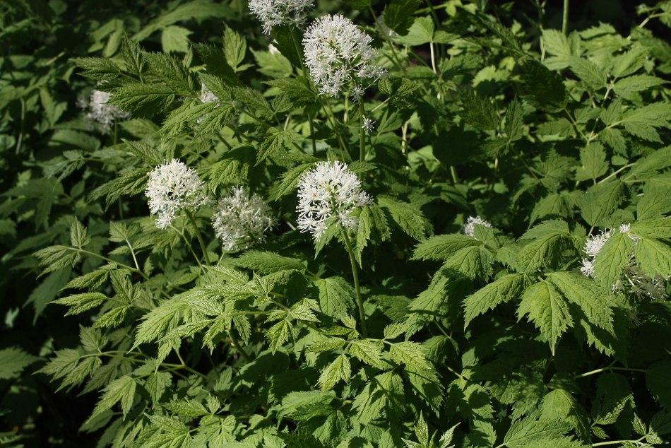 Fleurs d'Actaea rubra