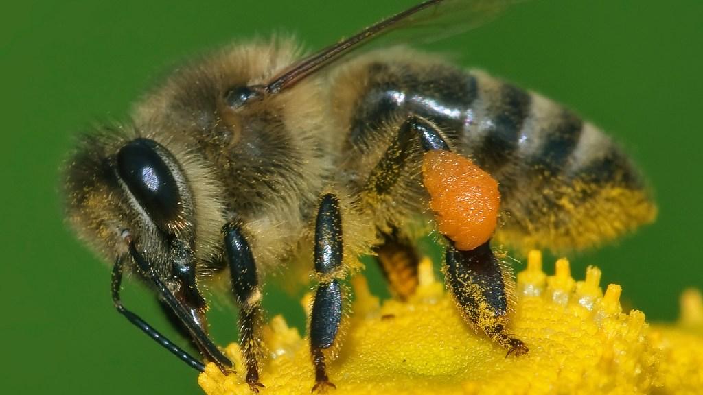 Abeille domestique sur une fleur jaune.