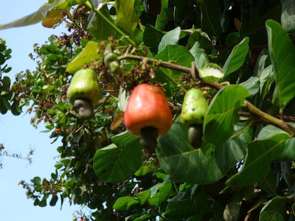 Pommes de cajou dans l'arbre.
