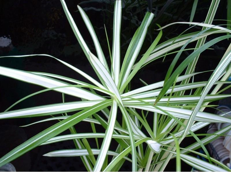 Plante ombrelle panachée aux feuilles rayées de blanc et de vert.