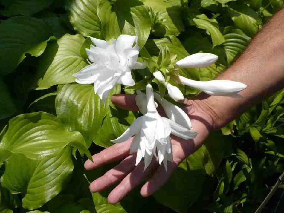 Hosta Aphrodite à fleurs doubles blanches
