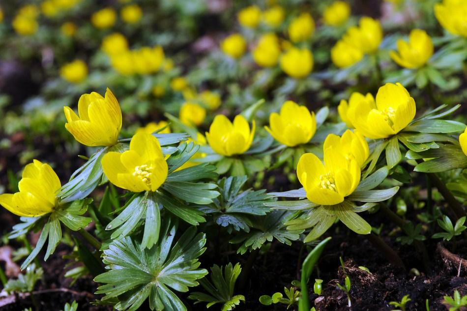 Fleurs d'éranthe jaune