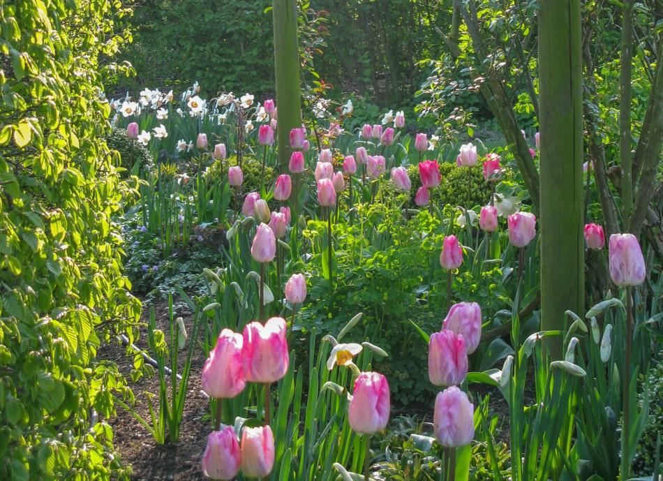 Tulipes et narcisses dans un jardin.