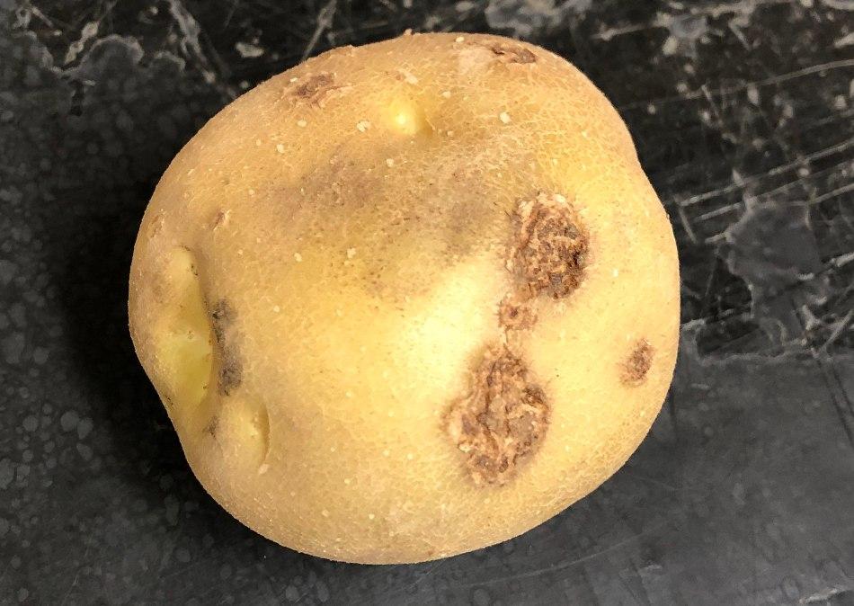 Pomme de terre avec quelques gales