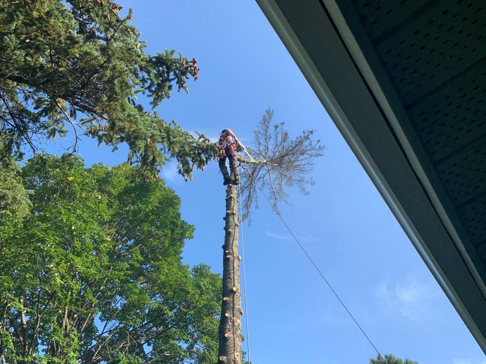 Arboriculteur qui coupe la tête d'une épinette.
