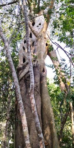 iguier à feuilles de sabre à l'état sauvage, étranglant un autre arbre.