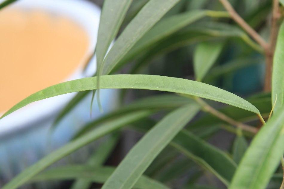 Feuille de figuier à feuilles de sabre Ali