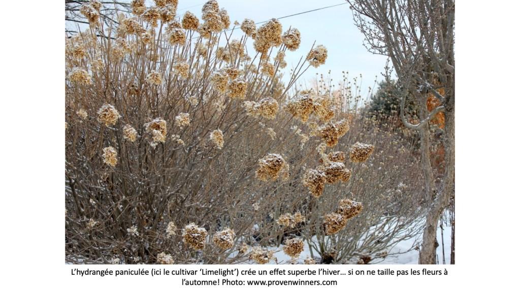Hydrangée paniculées sous la neige avec fleurs séchées.