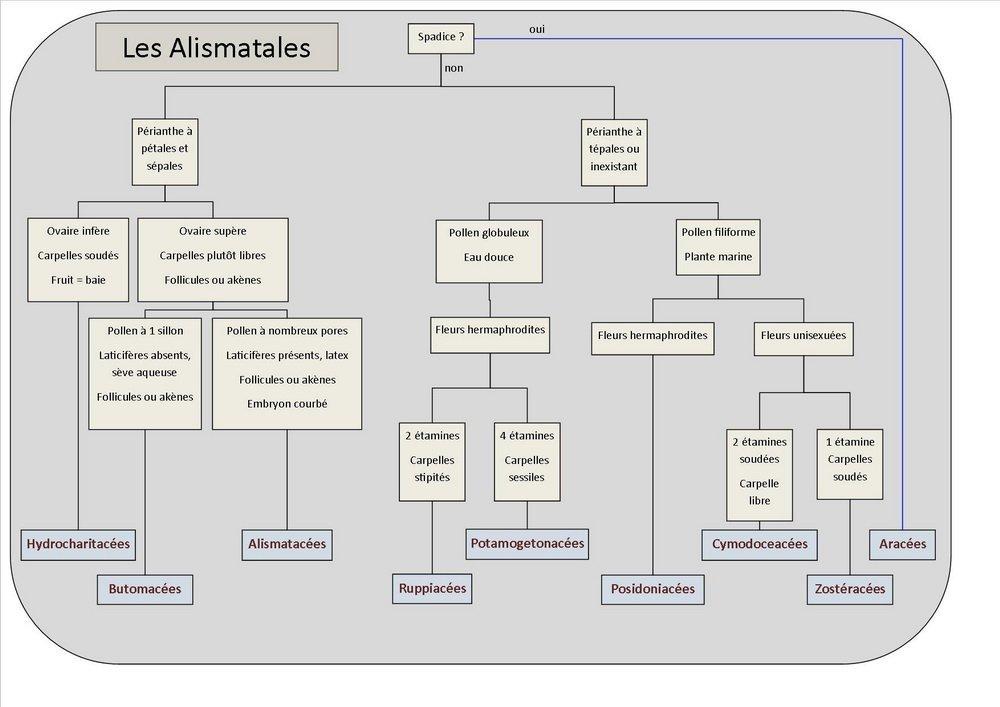 Clés Alismatales