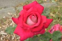 rose surprise (Sandrine nous avait trouvé des roses en pot)