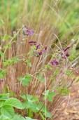 Geranium phaeum et Carex buchananii