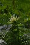 Circium spinosissimum