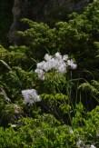 Thalictrum aquilegifolium