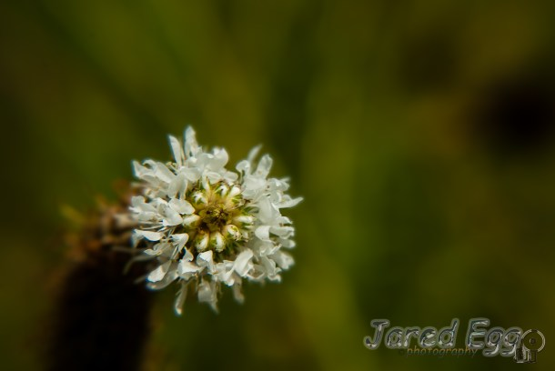 prairie clover