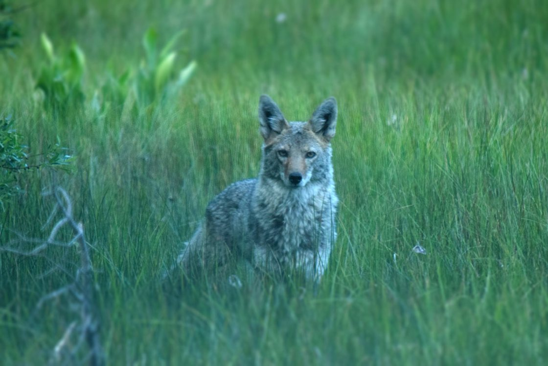 Coyote standing in a meadow of green grass