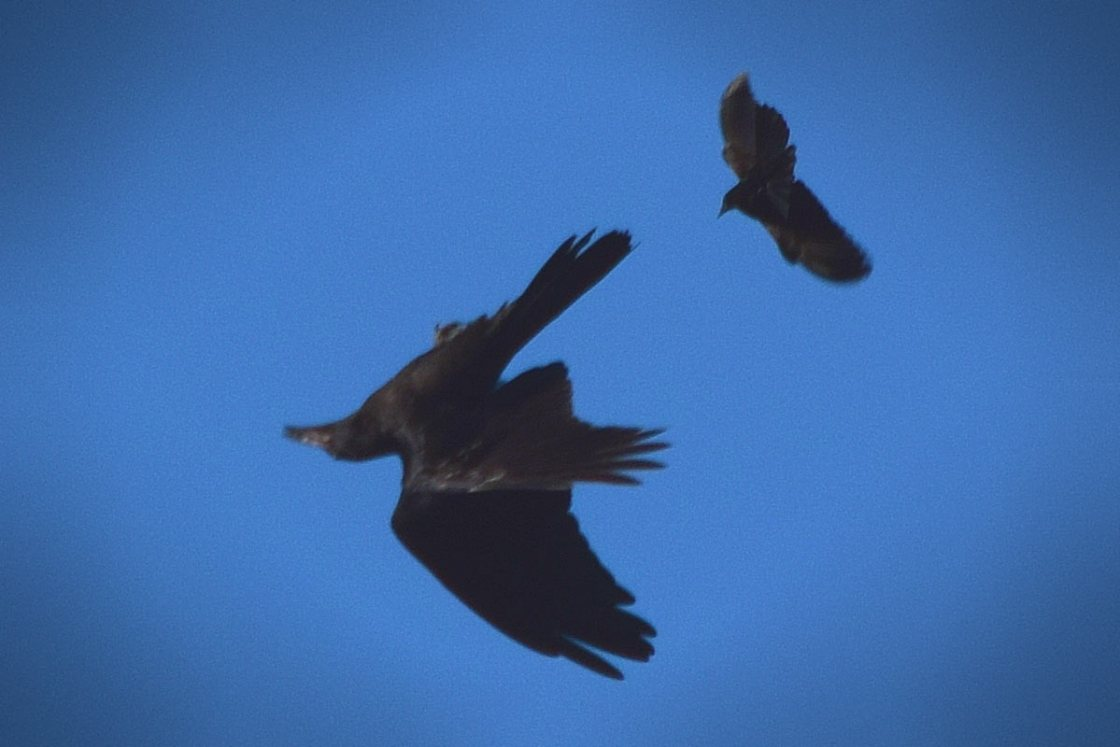 Raven flying upside down while performing a barrel-roll