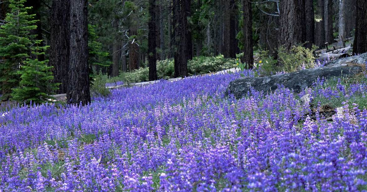Purple Lupine carpeting the ground in a forest