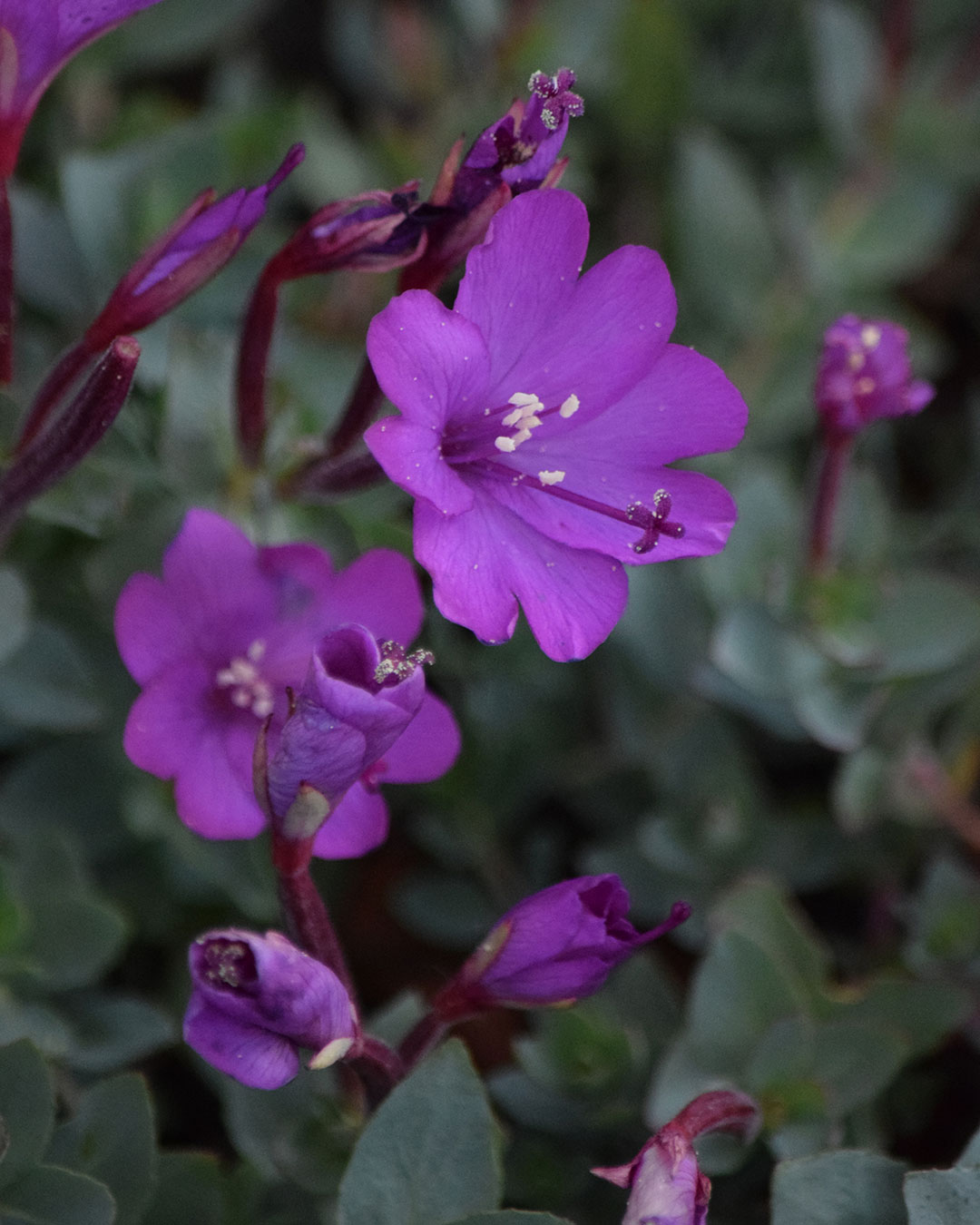 Rockfringe Willowherb